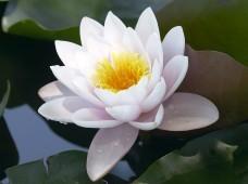 white-lotus1